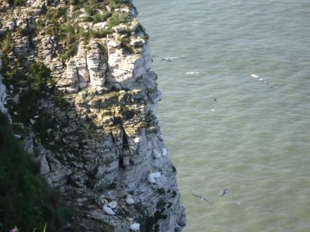 Bempton gannets c